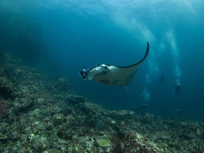 Manta ray in coral reef Giant Ray Manta Plankton Reef Wild Blue Wildlife Underwater Sea Animal Themes Animal Animal Wildlife UnderSea Water Fish Swimming Marine Coral Nature Vertebrate