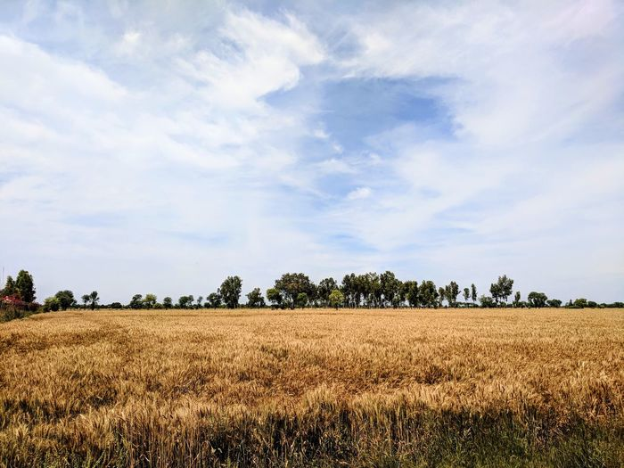 """harvest season in Pakistan, also known as """"baisakhi"""" Cereal Plant Rural Scene Agriculture Field Crop  Sky Cloud - Sky Landscape Plowed Field Hay Bale Farmland Corn - Crop Haystack Rye - Grain Scarecrow Plough Combine Harvester Stalk Hay Tractor Bale  Cultivated Land Sweetcorn Harvesting Corn On The Cob Oat - Crop Corn Straw Barley"""