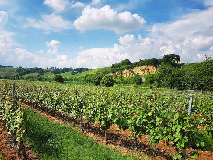 Mosel Vineyards  Vineyard Cultivation Scenics - Nature Tree Rural Scene Agriculture Irrigation Equipment Field Sky Cloud - Sky Vineyard Vine - Plant Winery