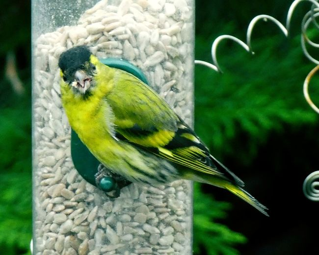 """Food and love are all I need."" The Greenfinch. Bird Perching Greenfinch Nature Beauty In Nature Feathered Friend Fly Together Live In Peace Beauty In Nature Peace Birdfeeder Sunflower Seeds Animal Wildlife Nature"