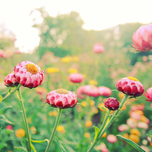Flowering Plant Flower Plant Beauty In Nature Freshness Growth Vulnerability  Fragility Close-up Nature Pink Color Field Focus On Foreground Flower Head Inflorescence Land Petal No People Plant Stem Day Outdoors Springtime Spring Spring Flowers Natural Summer