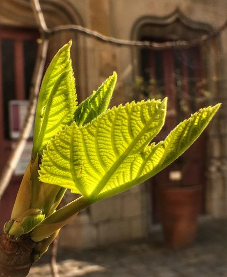 feuille de figuier Leaf Plant Nature Growth Green Color Close-up Focus On Foreground Fragility No People Day Beauty In Nature Outdoors Freshness Lumière Nature Tranquil Scene Museum Musée Du Moyen âge Paris, France  Colors Green Color