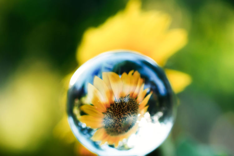 Sunflower in a Ball Sunflower Beauty In Nature Close-up Day Flower Flower Head Focus On Foreground Fragility Growth Nature No People Outdoors Plant Sunflowers🌻