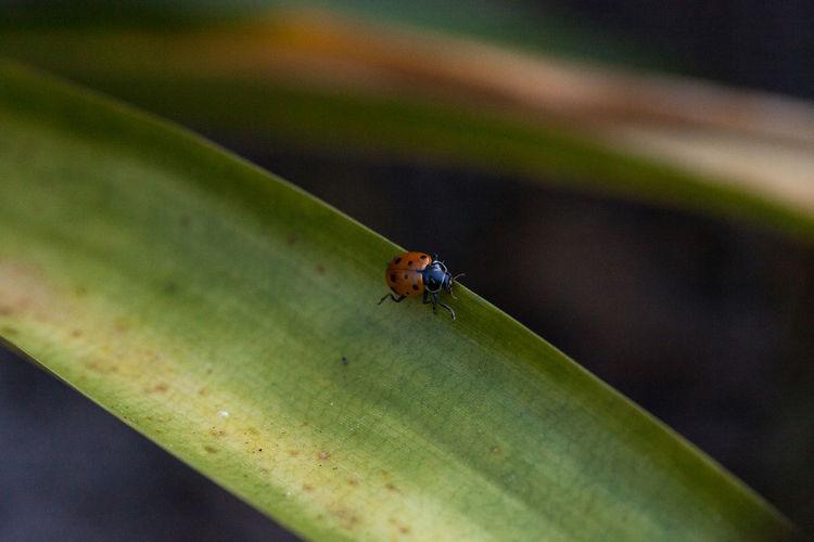 Close-up of ladybug on green leaf