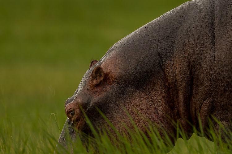 Close-up of hippopotamus