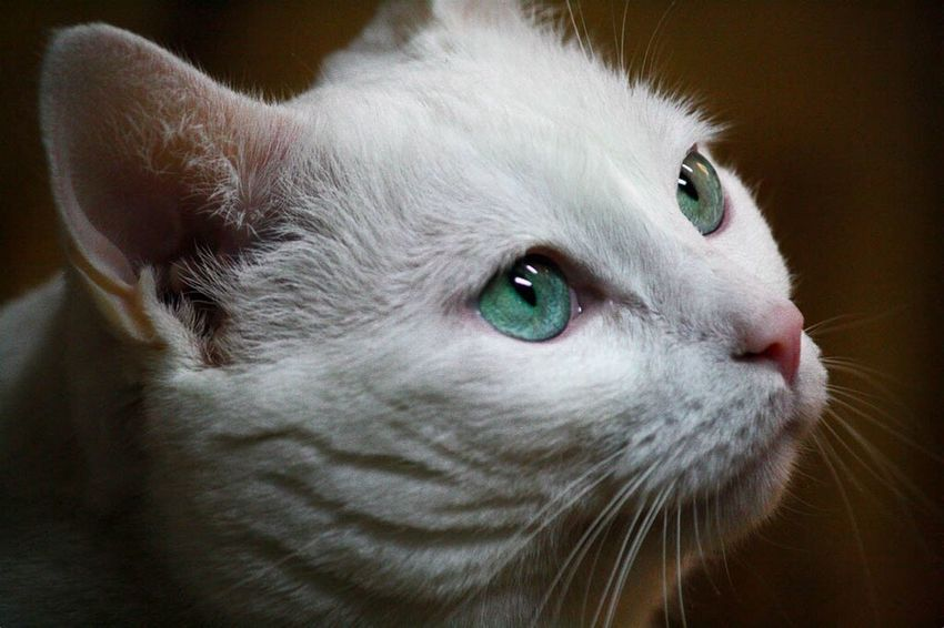 One Animal Domestic Cat Pets Domestic Animals Close-up Animal Themes Mammal Animal Head  Feline Animal Eye Animal Body Part No People Portrait Watching Indoors  Day the love of my life Cats Cat Lovers Cats Of EyeEm