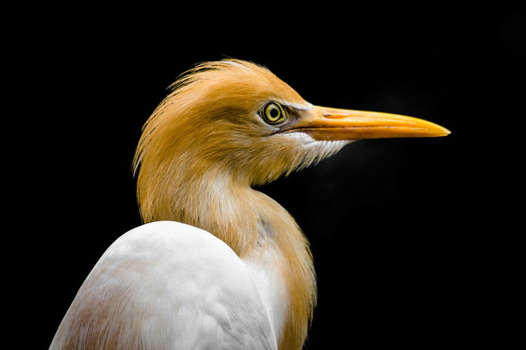 Close-up of a great egret against black background