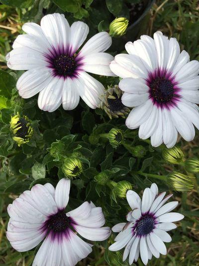 4 African daisies African Daisy Daisies Daisy Flower Daisy White And Purple Daisys