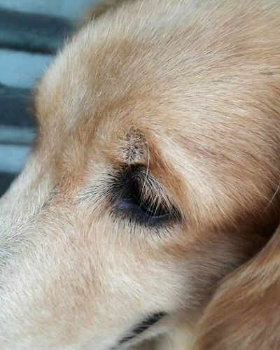 Bestsellers Goldenretriever Dog Domestic Animals Pets Animal Themes Love Yellow Color Close-up One Animal EyeEm Eye Animal Body Part Day