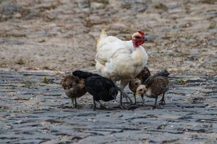 Chicken Chickens Chicks Farm Farm Life Livestock Agriculture Animal Themes Bird Chick Chicken - Bird Close-up Day Domestic Animals Fowl Livestock Nature No People Outdoors Rooster Roosters Wild Fowl Young Bird Young Chick Young Chickens