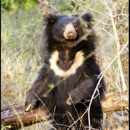 Teddy bear anyone? We were very lucky to get this shot of a Sloth Bear standing tall. Just love the necklace design on his neck. ShounakNayakPhotography Bandhavgarh Wildlife Slothbear