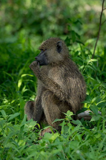 Nature Tanzania Travel Africa Animal Animal Wildlife Animals In The Wild Baboon Day Eating Field Full Length Grass Green Color Land Mammal Nature No People Olive Baboon One Animal Outdoors Plant Safari Sitting Vertebrate Wildlife