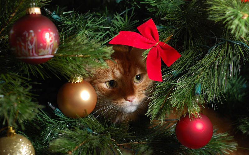 Cat Celebration Christmas Hide No People Red