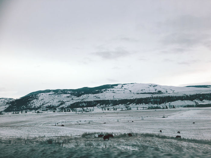 A snow-covered mountain in merritt, british columbia, canada with livestocks grazing on the ground.
