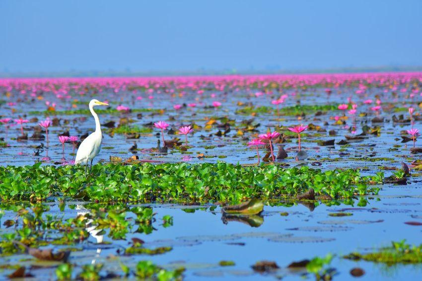 ทะเลบัวแดง Pink Color Animal Wildlife Animals In The Wild Plant No People Outdoors Water Colony Landscape Day Grass Beauty In Nature Animal Themes Large Group Of Animals Flower Sky