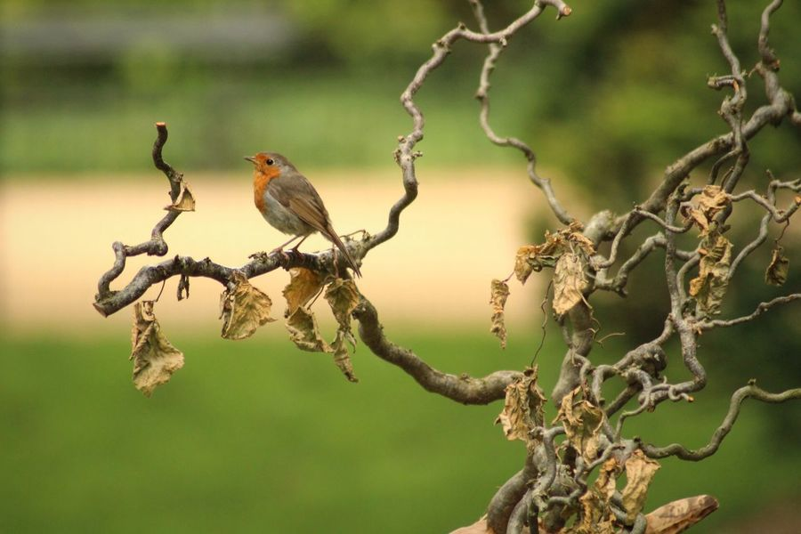 Robin on wood Perching Bird Animals In The Wild Animal Themes Branch One Animal Animal Wildlife No People Outdoors Day Nature Tree Beauty In Nature Beauty In Nature Good Times EyeEm Best Shots Rouge Gorge Wooden Post EyeEm Nature Lover EyeEm Best Shots - Nature Quiet Moments Animals In The Wild Orange Color Robin EyeEm Gallery