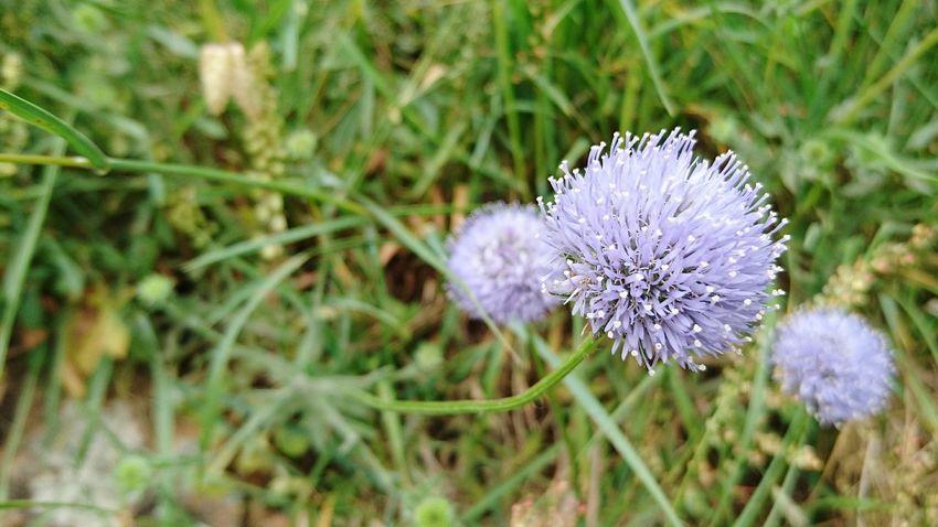 Flower Anenome