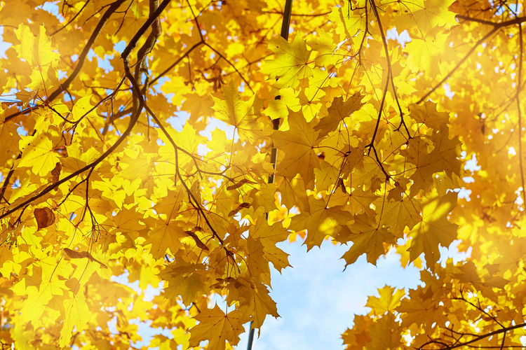 Low angle view of maple leaves on tree