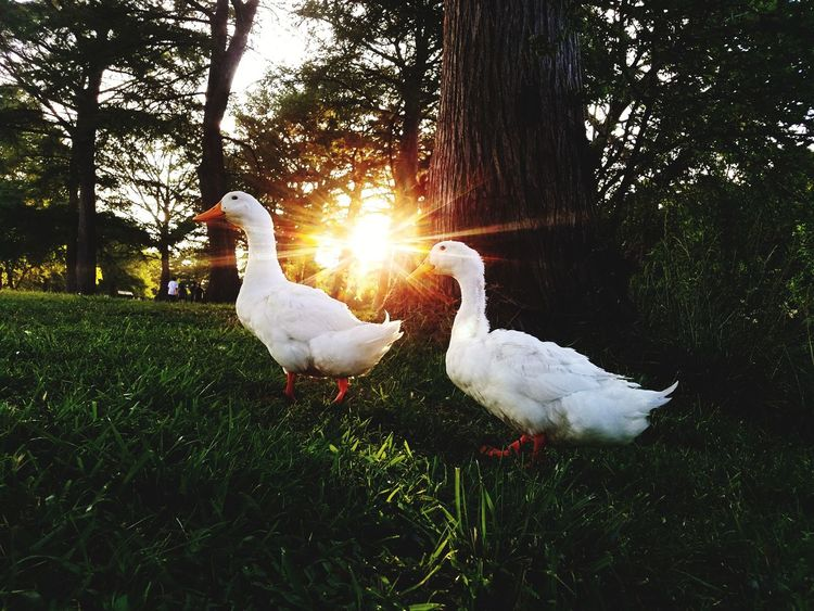 Bird Animal Themes Grass Animals In The Wild White Color No People Nature Green Color Tree Animal Wildlife Field Growth Outdoors Beauty In Nature Day Ducks EyeEmNewHere EyeEm Selects
