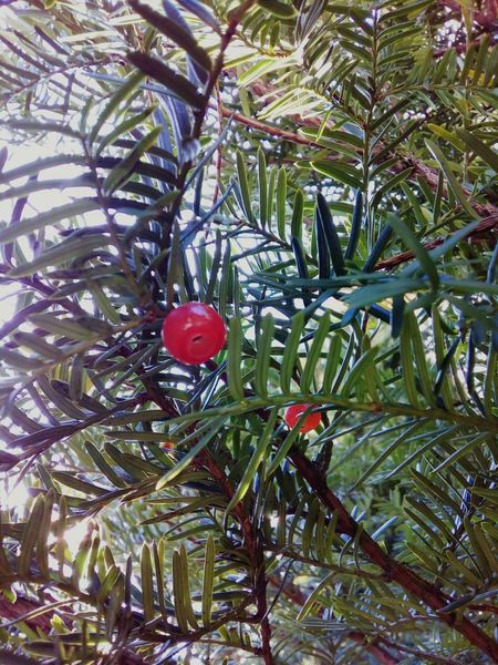 Yew tree Yew Yew Tree Tree Branch Close-up Red Berry Nature Growth Day Beauty In Nature Coniferous Tree Coniferous No People Outdoors Red Green Needles
