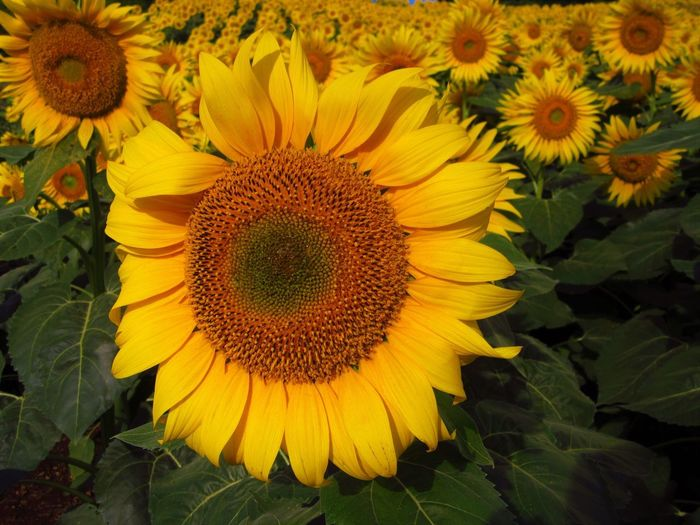 No People Outdoors Nature Flowering Plant Plant Flower Growth Sunflower Yellow Flower Head Close-up Leaf