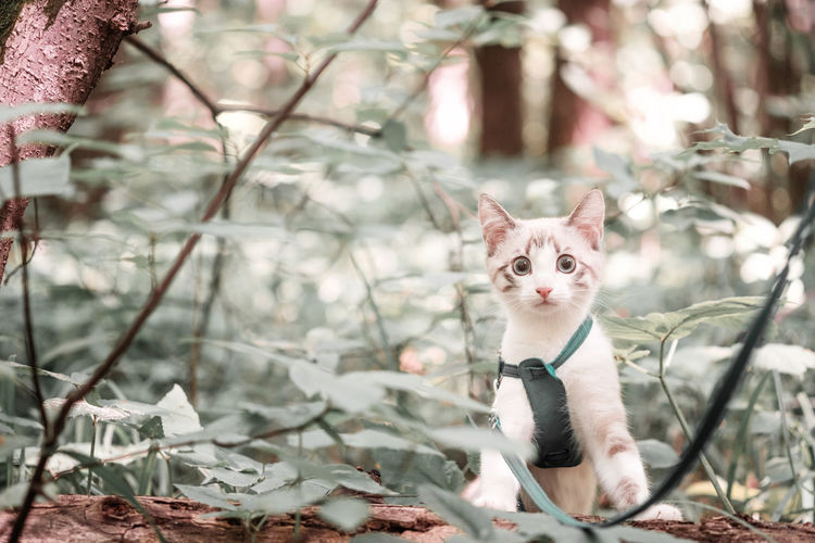 A young playful white kitten on a leash looks out from behind the bushes and looks into the camera