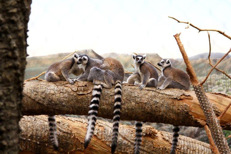 Lemurs sitting on tree trunk against sky