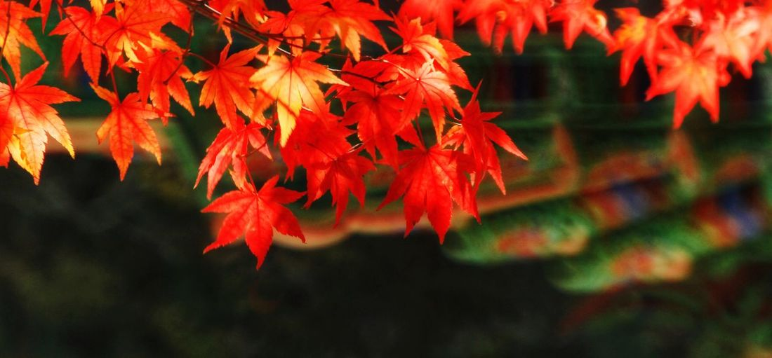 Maple Leaf Maple Tree Maple Leaves South Korea Autumn Beauty In Nature Autumn colors Tree Maple Leaf Leaf Autumn Red Change Maple Tree Close-up Autumn Collection Book Cover Hardcover Book Leaves Growing Maple