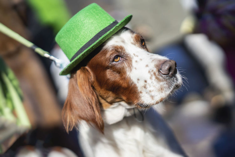 Portrait of pretty, lovely dog close-up in green Irish hat, saint patrick day holiday. St.Patrick s Day, Parade in the city Canine Dog Animal Themes Domestic One Animal Domestic Animals Pets Animal Mammal Day No People Animal Head  Patrick St Patrick's Day Hat Face Irish Holiday Candid Green Clover