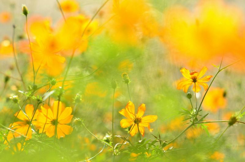 cosmos Flower Yellow Nature EyeEm Nature Lover Cosmos Flower Old Nikkor