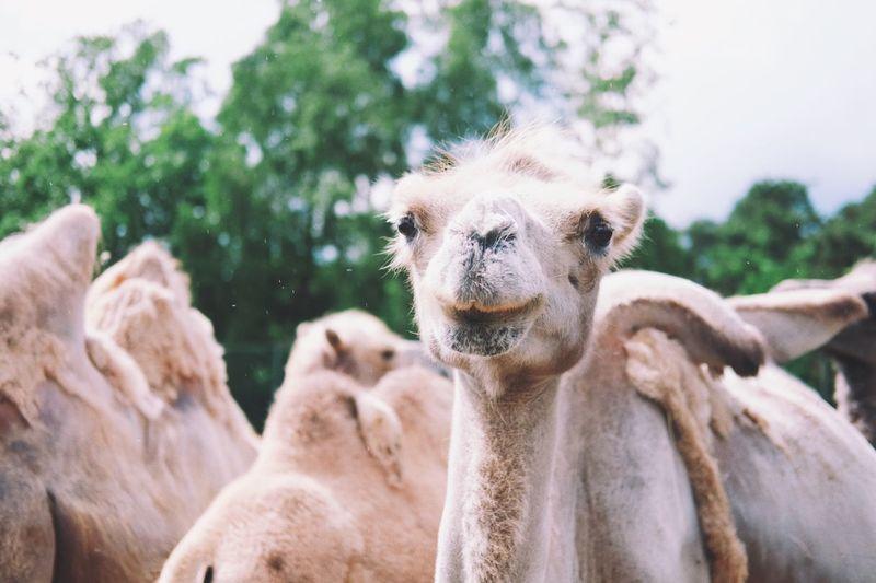 Close-up portrait of llama against sky