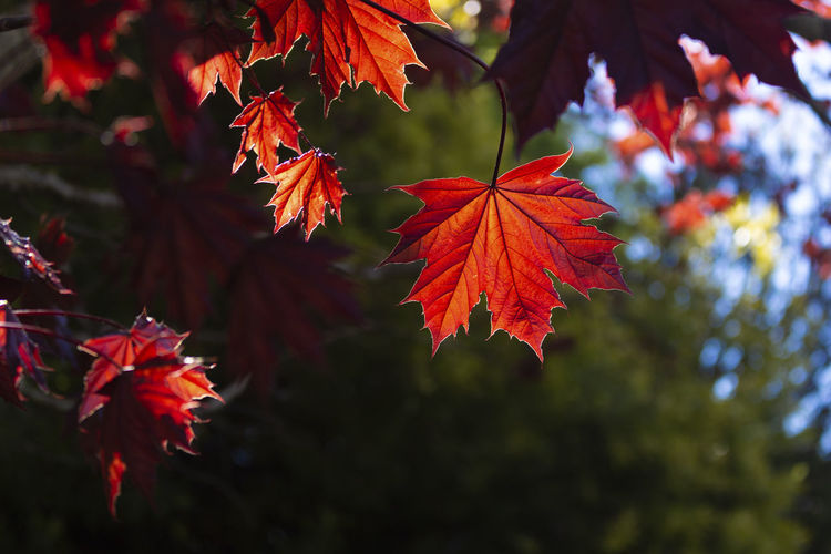 Leaf Plant Part Change Plant Autumn Beauty In Nature Maple Leaf Red Close-up Growth Tree Focus On Foreground Nature No People Day Maple Tree Orange Color Leaves Branch Outdoors Natural Condition Autumn Collection Red Green