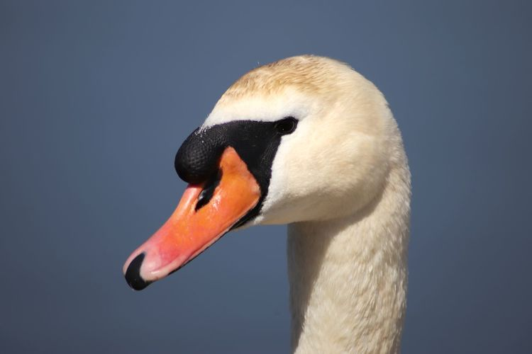 Swan Bird Beak