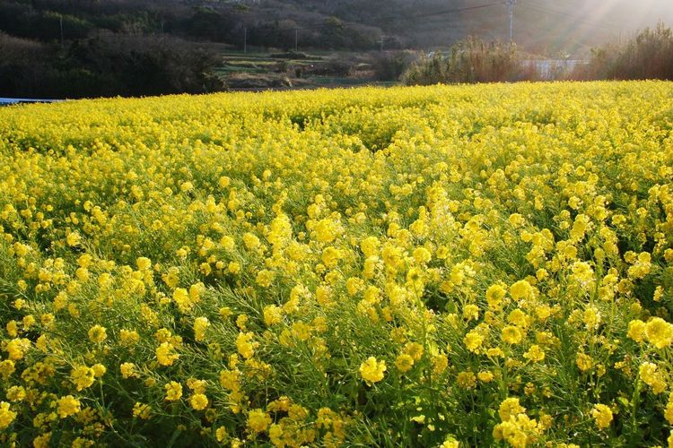 Tahara Aichi Japan Yellow Beauty In Nature Field Flower Plant Growth Land Tranquil Scene Environment Tranquility Landscape Scenics - Nature Freshness Rural Scene Agriculture Flowering Plant Farm Oilseed Rape Abundance Crop
