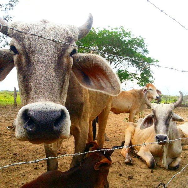 La vaca loca en el fundo Venezuela Vaca Vacaloca Llanos