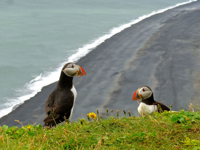 Fratercula Arctica Puffin Animal Themes Animal Wildlife Animals In The Wild Beauty In Nature Bird Day Grass Island Lake Nature No People Outdoors Papageitaucher Water
