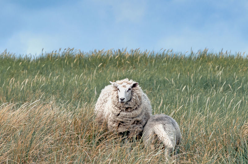 Animal Themes Animal Wildlife Animals Animals In The Wild Animals In The Wild Day Dike EyeEm EyeEm Gallery EyeEm Nature Lover From My Point Of View Grass Nature Nature Photography Nature_collection Naturelovers No People Portrait Sheep Sheeps Sheep🐑 Sky