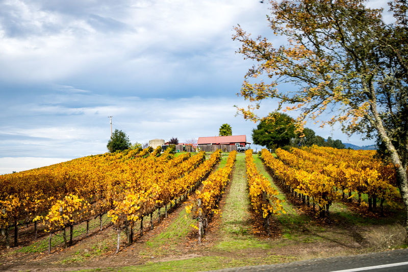 Wine Farm Farm Vines Agriculture Autumn Beauty In Nature Cloud - Sky Day Environment Fall Field Land Landscape Plant Rural Scene Sky Tree Vineyard