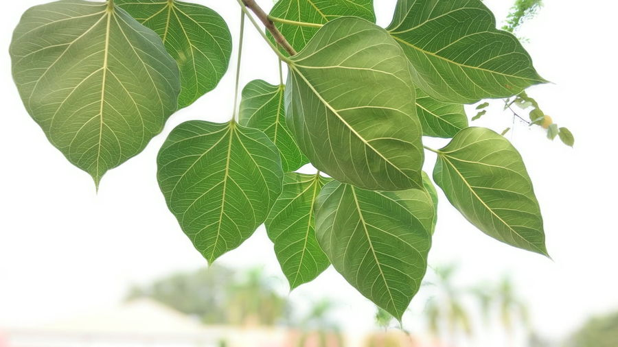 Leaf Plant Part Green Color Plant Close-up Nature Leaf Vein Outdoors Tree Freshness Pattern Bright Brightly Lit Leaves Focus On Foreground Wildlife Art Wall Art Abstract Concept Copy Space Studio Shot View