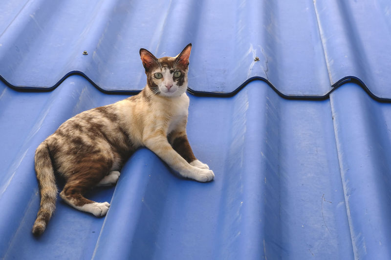Female three-colored thai cats lie about on a blue tiled roof.