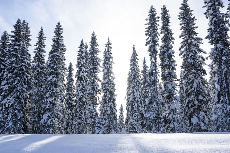 Close-up of snow covered trees against sky