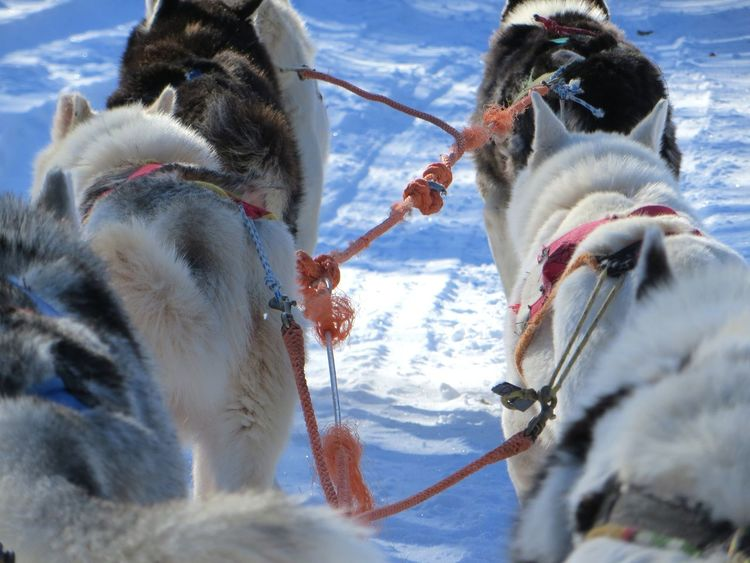 Animal Themes Close-up Cold Temperature Day Domestic Animals Mammal Nature No People Outdoors Sky Snow Winter Working Animal Sled Dog Sledding Sleddogs Husky