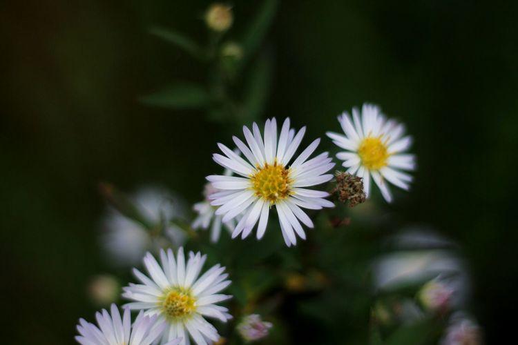 Fleur ♡ Flower Power Flower Photography Canon Canonphotography Paquerettes 🌼🌼🌼
