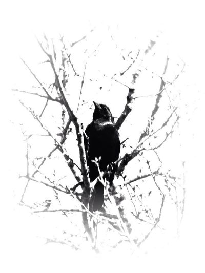 Black And White Blackbird Tree Hugger EE_Daily: Black And White Sunday