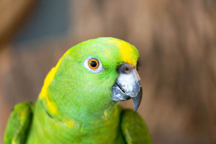 A head-shot of an Yellow-naped amazon or Yellow-naped parrot Wildlife & Nature Yellow-naped Amazon Yellow-naped Parrot Animal Animal Body Part Animal Eye Animal Head  Animal Themes Animal Wildlife Animals In The Wild Beak Bird Birds Close-up Day Focus On Foreground Green Color Multi Colored Nature No People One Animal Outdoors Parakeet Parrot Vertebrate