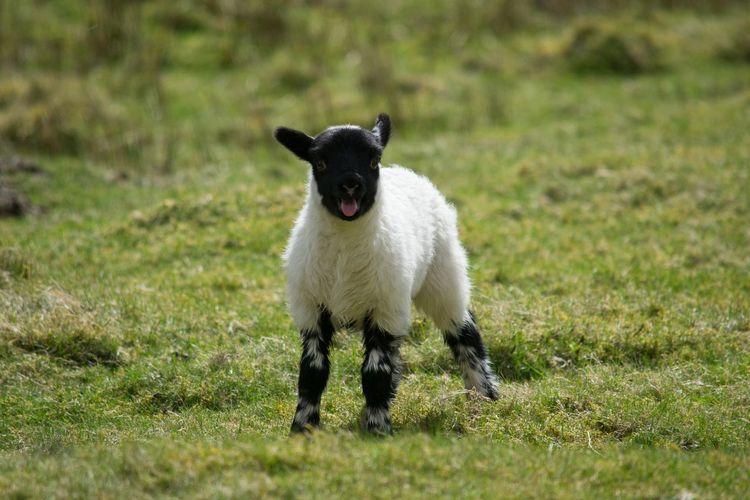 Lamb Nature Scotland Scotland 💕 Wildlife & Nature Animal Animal Themes Animal Wildlife Day Farming Field Grass Livestock Looking At Camera Nature Nature_collection Naturephotography No People One Animal Sheep