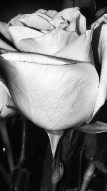 Bnw_flowers Bnw_friday_eyeemchallenge Flowers Flores Blanco Y Negro Bnw_collection NEM Black&white Nem Nature In Between The Flowers~entre Las Flores Roses Rosas Flower Close-up Fragility Freshness Flower Head Nature