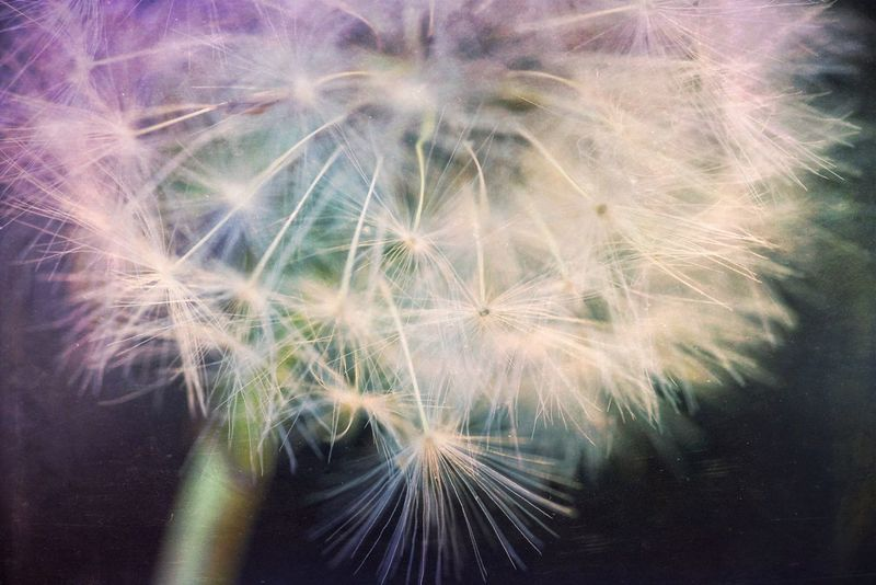 Fluffy Dandelion Dandelions Beautiful Nature Macro Macro Beauty Macro_flower Seed Head Dandelion Seeds Dandelion Macro Northamptonshire Naturelovers Mextures Flower Flowerporn Flower Head Flora Floral Floral Perfection Nature Photography Flower Art Fine Art Photography Solomon Flowers