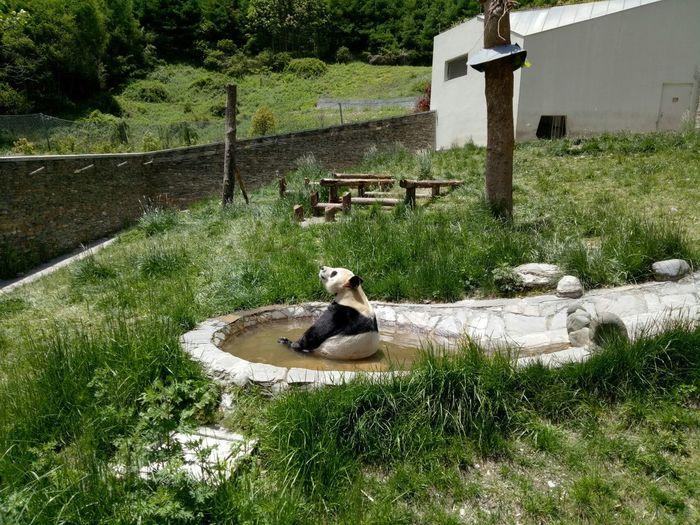 Panda - Animal Grass Water No People Day Animal Themes Mammal One Animal Outdoors Nature Tree Domestic Animals