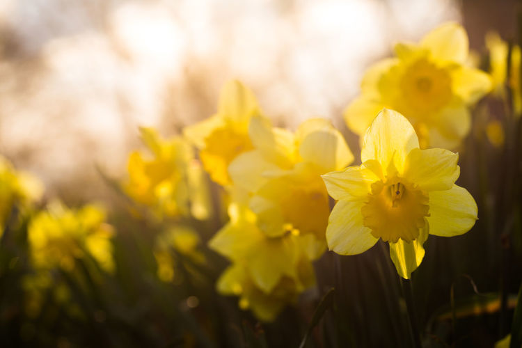 Daffodils in back light Back Light Backlit Beauty In Nature Blooming Close-up Daffodils Day Flower Flower Head Fragility Freshness Macro Beauty Macro Photography Nature Outdoors Plant Spring Spring Flowers The Week On EyeEm Yellow